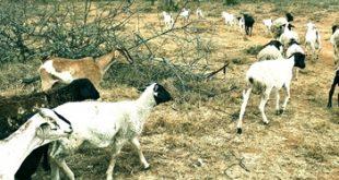 A Maasai herd  of goats and  sheep in a  drought  stricken area.  Photos/Kurgat  Marindanyi